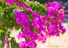 Flores cor-de-rosa da buganvília foto de stock