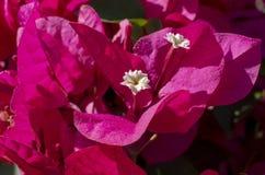 Flores cor-de-rosa da buganvília com centro branco Imagem de Stock Royalty Free