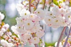 Flores cor-de-rosa da cereja Fotos de Stock