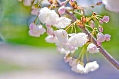 Flores cor-de-rosa da cereja Fotografia de Stock Royalty Free