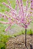 Flores cor-de-rosa da cereja Imagens de Stock Royalty Free