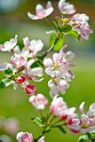 Flores cor-de-rosa da cereja Foto de Stock