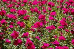 Flores cor-de-rosa da cor Fotografia de Stock Royalty Free
