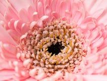 Flores cor-de-rosa da flor do bergera belamente imagem de stock