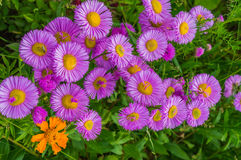 Flores cor-de-rosa da flor em um jardim Fotografia de Stock Royalty Free