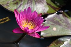 Flores cor-de-rosa da flor em uma lagoa foto de stock royalty free