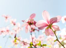 Flores cor-de-rosa da flor da magnólia Fotos de Stock