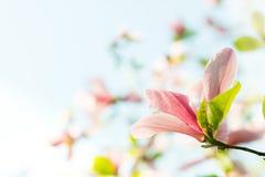 Flores cor-de-rosa da flor da magnólia Fotografia de Stock Royalty Free