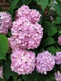 Flores cor-de-rosa da hortênsia em um jardim do verão fotografia de stock