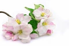 Flores cor-de-rosa da maçã-árvore isoladas com folhas verdes imagens de stock