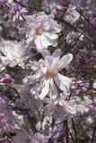Flores cor-de-rosa da magnólia de estrela Foto de Stock Royalty Free