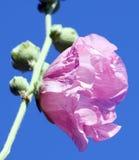 Flores cor-de-rosa da malva Imagem de Stock Royalty Free