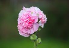 Flores cor-de-rosa da malva Imagens de Stock Royalty Free