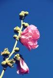 Flores cor-de-rosa da malva Fotografia de Stock