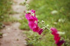 Flores cor-de-rosa da malva Imagens de Stock