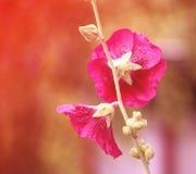 Flores cor-de-rosa da malva Foto de Stock
