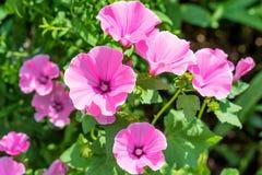 Flores cor-de-rosa da malva no jardim home Fotografia de Stock