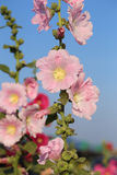 Flores cor-de-rosa da malva rosa (rosea de Althaea) Fotografia de Stock Royalty Free