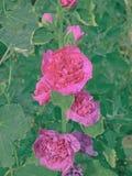 Flores cor-de-rosa da malva rosa de terry Fotos de Stock Royalty Free