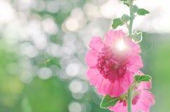 Flores cor-de-rosa da malva rosa de terry Foto de Stock