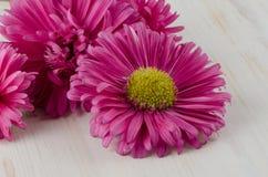 Flores cor-de-rosa da margarida fotos de stock