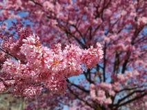 Flores cor-de-rosa da mola Imagem de Stock