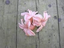 Flores cor-de-rosa da mola do jacinto no fundo de madeira fotos de stock