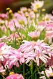 Flores cor-de-rosa da mola no jardim Fotografia de Stock Royalty Free