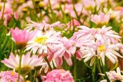 Flores cor-de-rosa da mola no jardim Fotos de Stock