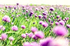 Flores cor-de-rosa da mola no prado Fotos de Stock