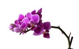 Flores cor-de-rosa da orquídea Fotos de Stock