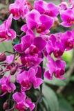 Flores cor-de-rosa da orquídea Foto de Stock Royalty Free