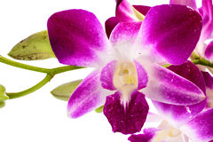 Flores cor-de-rosa da orquídea Fotografia de Stock Royalty Free