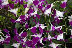 Flores cor-de-rosa da orquídea Foto de Stock
