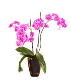 Flores cor-de-rosa da orquídea isoladas no fundo branco Imagem de Stock