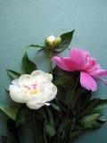 Flores cor-de-rosa da peônia fotos de stock