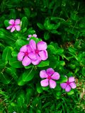 Flores cor-de-rosa da pervinca Fotos de Stock Royalty Free