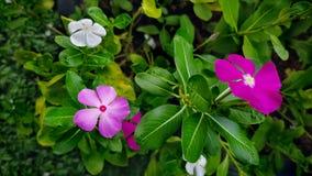 Flores cor-de-rosa da pervinca no jardim foto de stock royalty free