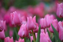 Flores cor-de-rosa da tulipa com folhas verdes Imagem de Stock Royalty Free