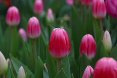 Flores cor-de-rosa da tulipa com folhas verdes Imagens de Stock