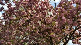 Flores cor-de-rosa das flores Fotografia de Stock
