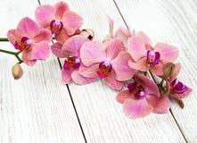 Flores cor-de-rosa das orquídeas Fotos de Stock Royalty Free