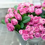 Flores cor-de-rosa das rosas fotografia de stock