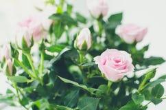 Flores cor-de-rosa das rosas Imagens de Stock