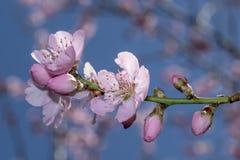 Flores cor-de-rosa das flores de Sakura fotografia de stock