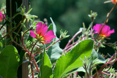 Flores cor-de-rosa de florescência Foto de Stock Royalty Free