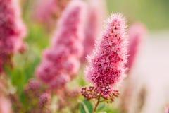 Flores cor-de-rosa de Spirea em Bush no jardim da mola Imagem de Stock