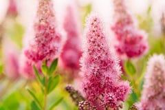 Flores cor-de-rosa de Spirea em Bush no jardim da mola Fotos de Stock