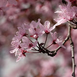 Flores cor-de-rosa de um cerasifera do Prunus da ameixa de cereja com bokeh Imagens de Stock