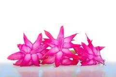 Flores cor-de-rosa delicadas Imagens de Stock